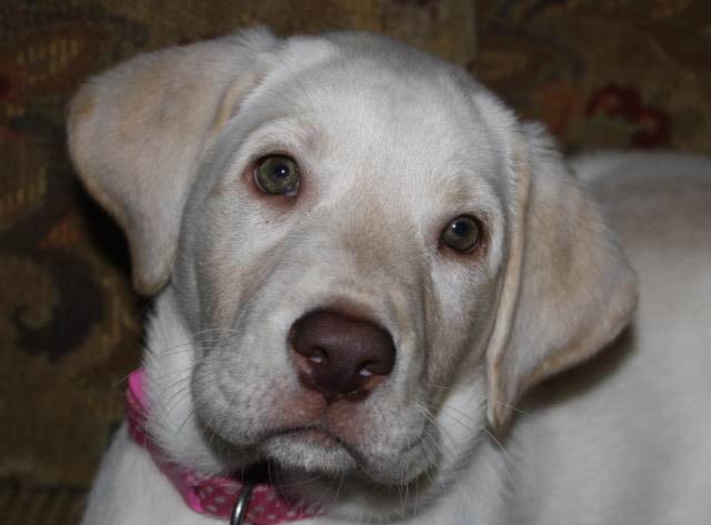 Labrador retriever puppies for sale in texas tx hd wallpapers