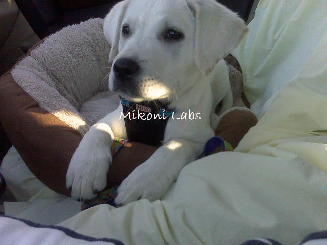 mikoni-white-labs-60-jpg