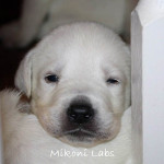 Mikoni White Labs 12