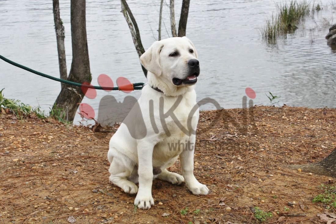 Mikoni White Labs - White Labrador Puppies For Sale AL
